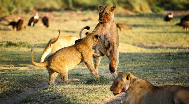 Lions playing in Serengeti