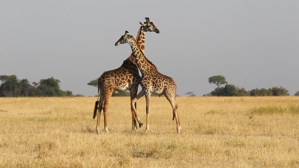 giraffes-tanzania-safari
