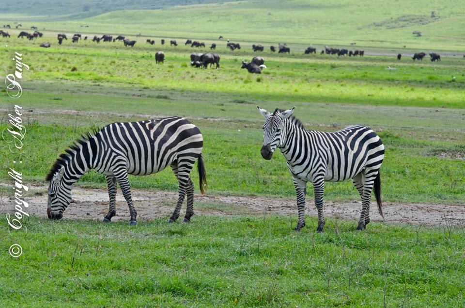 Zebras in Tanzania - Leading Tourism Hub