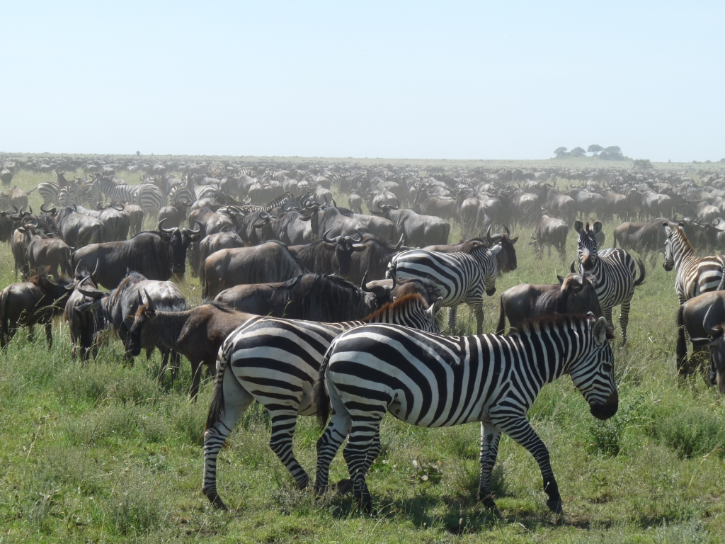 The Great Serengeti Migration