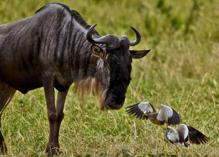 One Night Manyara,  One Night The Serengeti and One Night Ngorongoro Crater or Karatu