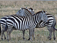 Animals at The Serengeti National Park