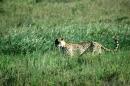Cheetahs (Kheraj Family)