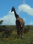Serengeti (John Madinda)