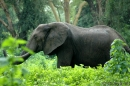 Elephant (Kheraj Family)