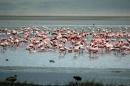Flamingo (Kheraj Family)