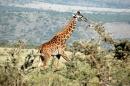 Giraffe (Kheraj Family)