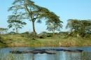 Hippopotamus (Kheraj Family)