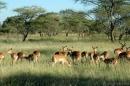 Impala (Kheraj Family)