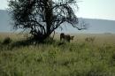 Serengeti Lions (Kheraj Family)